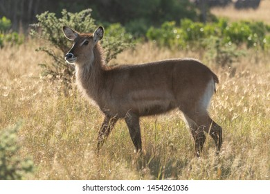 Backlit female waterbuck crosses savannah in sunshine