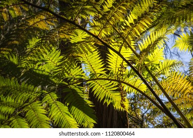 Backlit fern at Lawson Creek, Five Waterfalls Circuit, South Lawson, Blue Mountains, New South Wales, Australia.