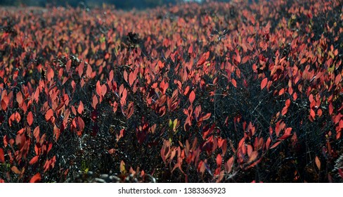 Backlit fiery red leaves in a field of huckleberry bush plants in autumn on a highland plateau at sunset