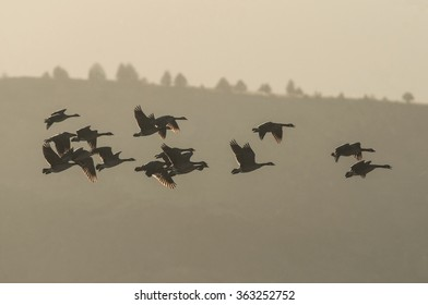 A backlit flock of Canadian Geese wintering in a migratory stopover at Tule Lake National Wildlife Refuge in Northern California.