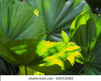 Backlit Garden Fan Palms Background