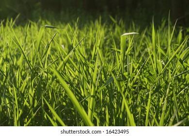 Backlit Grass Background