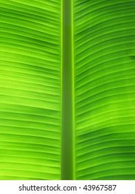 backlit green banana leaf background