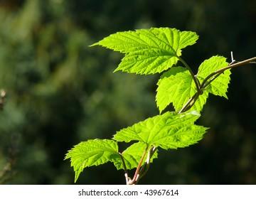 backlit green leaves glowing against dark natural background