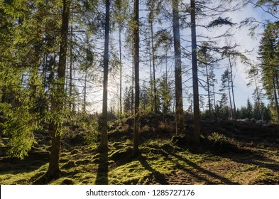 Backlit green mossy forest with spruce trees