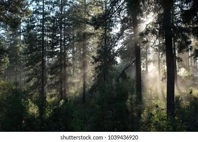 Backlit haze in forest