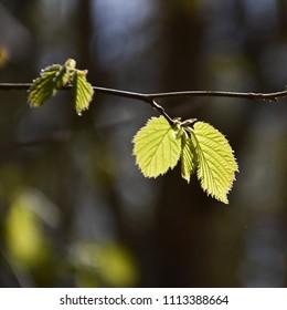 Backlit hazel leaves by a dark background