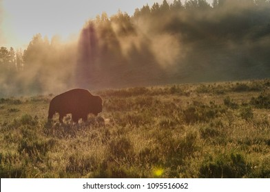 Backlit image of a Bison in the Hayden Valley area of Yellowstone National Park