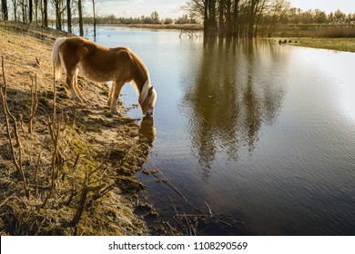 Backlit image of a thirsty brown horse with blond mane and tail which drinks water from a creek in the Dutch National Park De Biesbosch near Werkendam, Noord-Brabant.