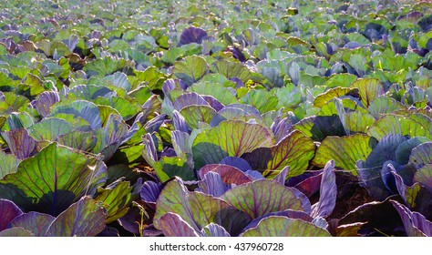 Backlit image of the translucent leaves of red cabbage plants on a large field. It si a sunny day in the summer season.