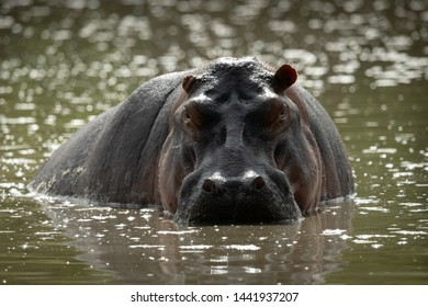 A backlit male hippopotamus stands half-submerged in water, staring menacingly towards the camera. His skin is pink and grey, and one ear is folded back.