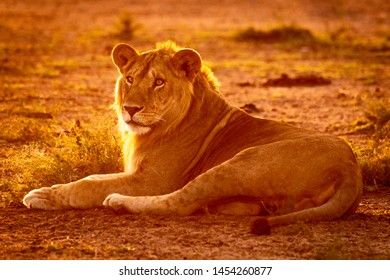 Backlit male lion lies on bare earth