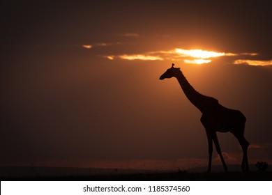 Backlit masai giraffe on horizon at sunset