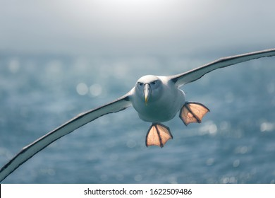 Backlit Northern Royal Albatross (Diomedea sanfordi) flying with outstretched feet