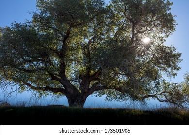Backlit Oak Tree and Sun Burst