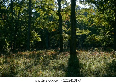 Backlit oak trees in morning sun, Bialowieza forest, Belarus, Europe