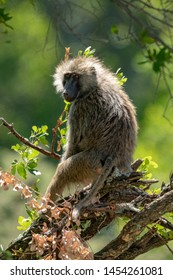 Backlit olive baboon sits in tangled branches