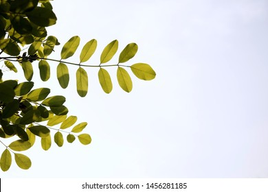 Backlit photograph of black locust tree in late spring