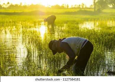 Backlit photos of farmers planting black rice in rice fields with water and rice.