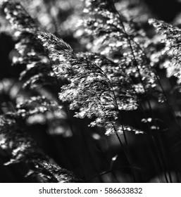 Backlit Phragmites reed seed heads. (B+W)