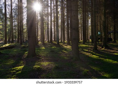 A backlit picture of a pine forest in beautiful early morning light. Green moss on the ground. Picture from Eslov, Sweden