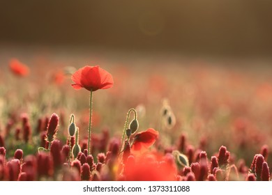 Backlit poppy standing tall among poppies and crimson clover against a blurred background in early morning sunlight
