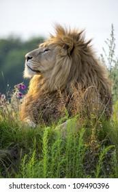 Backlit proud lion in the last hour of sunlight/Proud Lion