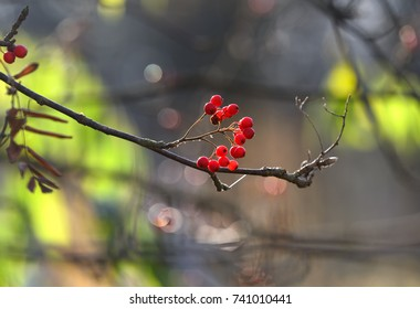 Backlit red rowan berries in a late October morning light in Helsinki, Finland on sunny cold morning.