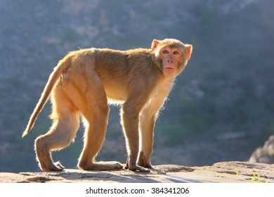 Backlit Rhesus macaque (Macaca mulatta) walking near Galta Temple in Jaipur, India. The temple is famous for large troop of monkeys who live here.