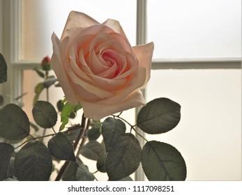 Backlit rose beside a conservatory window
