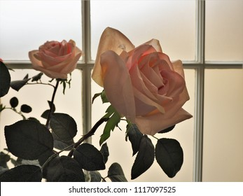 Backlit roses beside a conservatory window