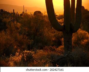 Backlit saguaros with sun on horizon