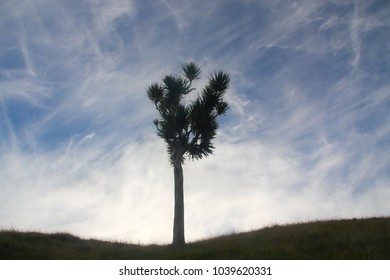 Backlit shot of a cabbage tree, new zealand