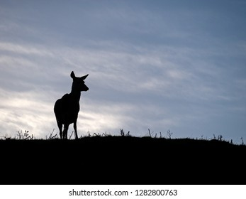 Backlit silhouette of lone standing Red Deer hind (Dama dama) on skyline against blue sky, Derbyshire, UK