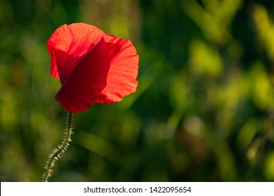 Backlit single red poppy in the evening sunshine against a bokeh green background. Landscape format. Remembrance theme. Petals appear translucent in the warm light.