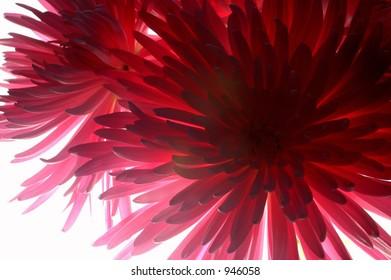 Backlit Spider Chrysanthemum