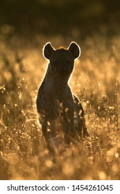 Backlit spotted hyena sitting in long grass