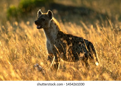 Backlit spotted hyena stands in long grass