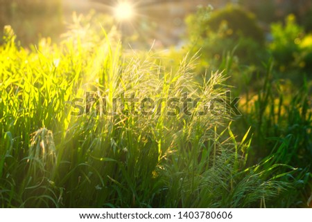 backlit-sun-tops-wild-grass-450w-1403780