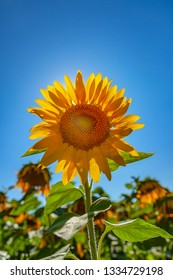 backlit sunflower in a field with clean blue sky