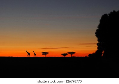 The backlit trees in the twilight in africa with two giraffes