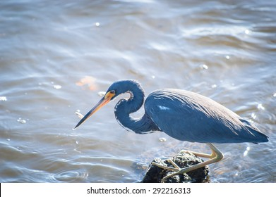 Backlit Tricolored Heron with a minnow it just caught in its beak
