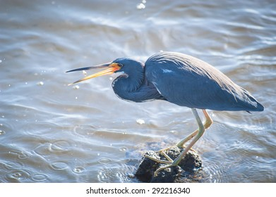 Backlit Tricolored Heron standin on rocks in the water, flipping a minnow it just caught into its beak