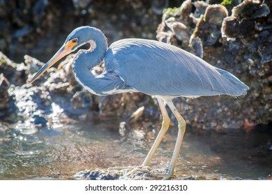 Backlit Tricolored Heron standing on a rock searching for food on a cool, fall morning