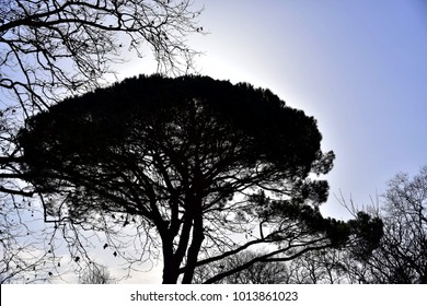 Backlit umbrella pine