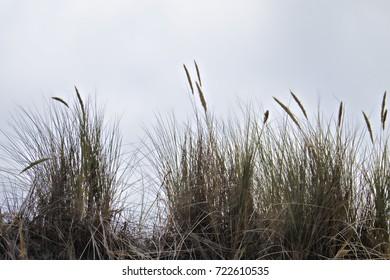 Backlit Wild Pampas Grass at the Beach