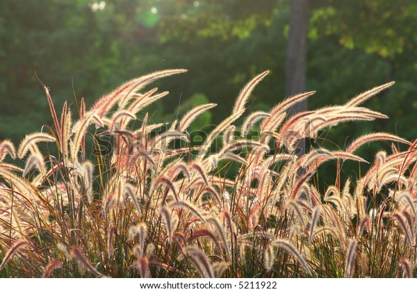 Backlit/sunlit stems of wild, wheat-looking grass against dark green forest