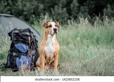 Backpack hiking with a dog: staffordshire terrier sits next to a tourist backpack at a camping site. Adorable pet dog sits near a large hiking rucksack in front of a tent at nature