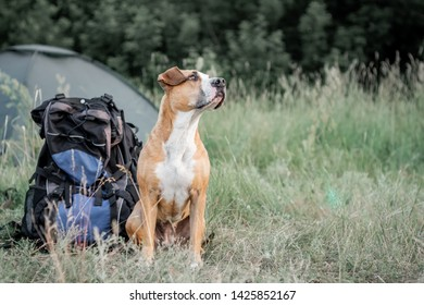 Backpack hiking with a dog: staffordshire terrier sits next to a tourist backpack at a camping site. Adorable domestic pet sits near a large hiking rucksack in front of a tent at nature