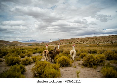 Backs of llamas walking in the wild scenery site of during dessert crossing with a 4x4  in Uyuni Salt Flats in Bolivia.